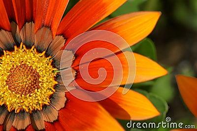Orange treasure flower