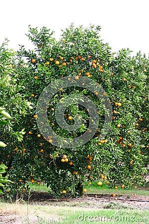 Free Orange Tree Royalty Free Stock Images - 121039