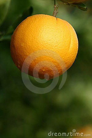 Orange in a Tree