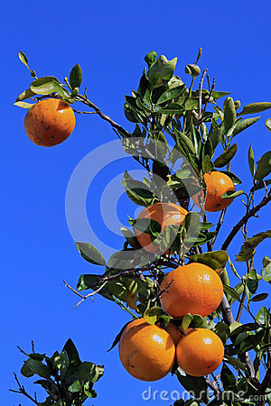 The orange tree