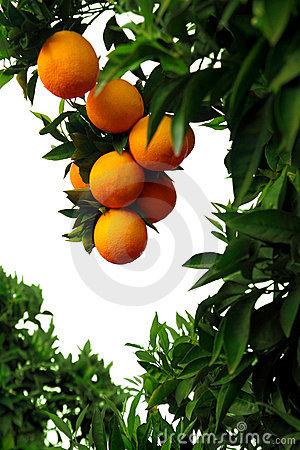 Free Orange Tree Royalty Free Stock Photo - 5402245