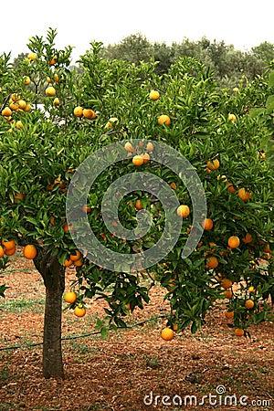 Free Orange Tree Stock Photography - 889242