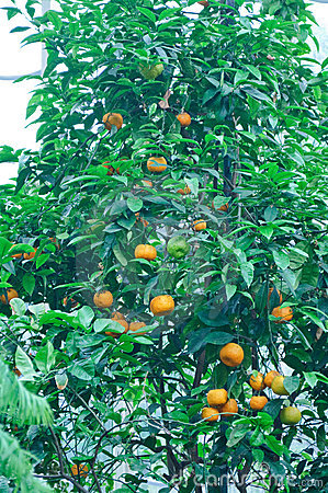 Orange tree in a botanical garden