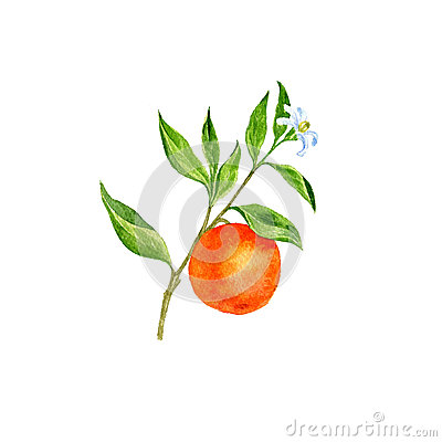 Orange Tree Branch With Flowers, Leaves And Oranges Stock ...