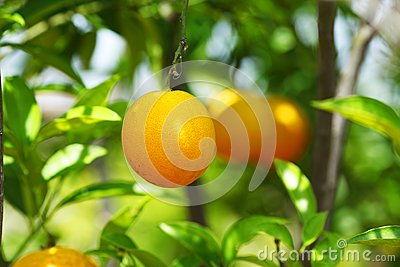 Orange tree fruits