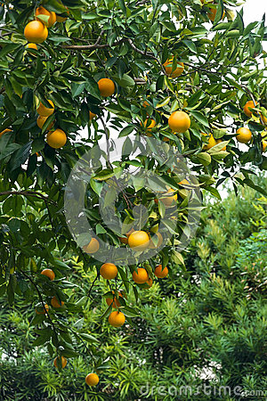Orange Tree With Lots of Fruit