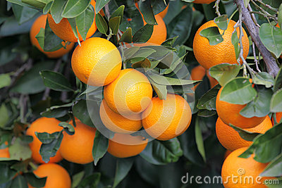 Orange tree with many fruits