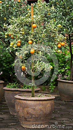 Orange tree in vase01