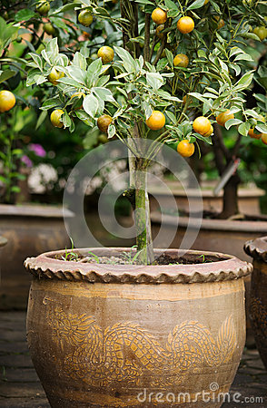 Orange tree in vase02
