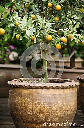 Orange tree in vase02