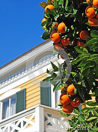 Orange Tree in Yard