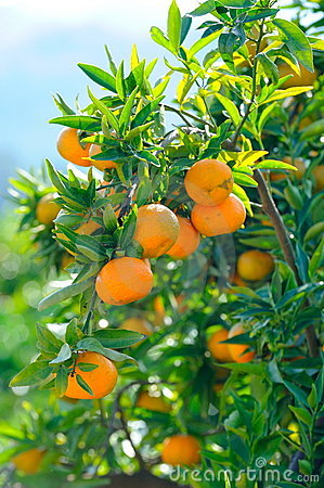 Orange trees with fruits