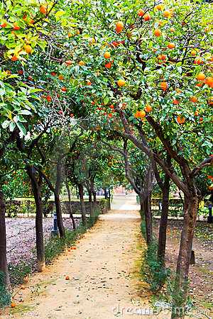 Orange Trees in Real Alcazar gardens in Seville