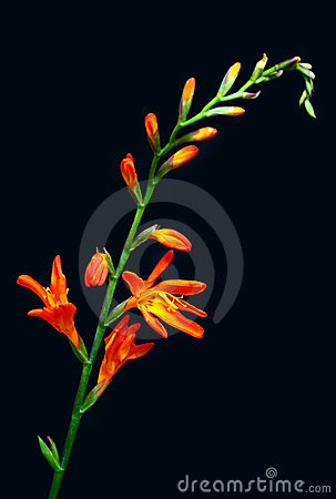 orange tropical flower royalty free stock photos  image, Beautiful flower