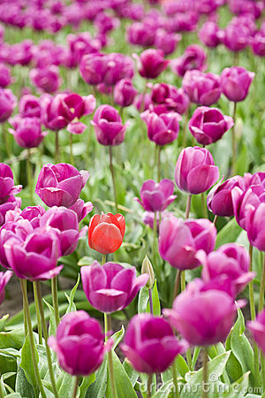Orange tulip in purple field
