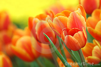 orange tulpen im garten lizenzfreie stockbilder bild 6042009. Black Bedroom Furniture Sets. Home Design Ideas