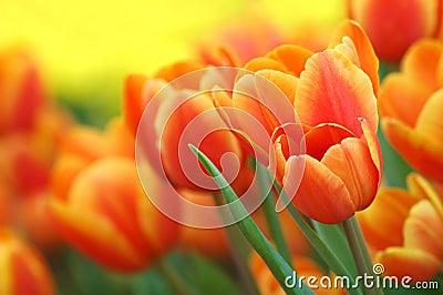 orange tulpen im garten lizenzfreie stockbilder bild 6042009. Black Bedroom Furniture Sets. Home Design Ideas