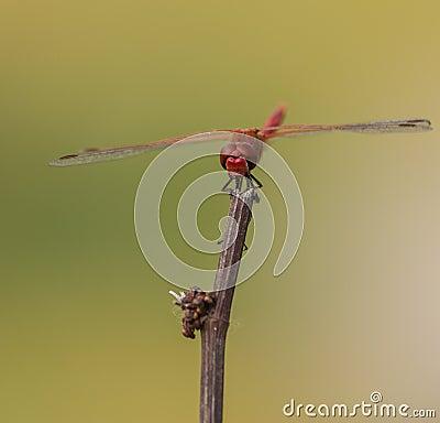 Orange-winged Dropwing on stick