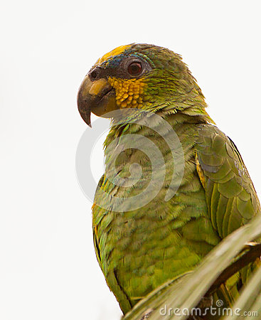 Orange-winged Parrot portrait