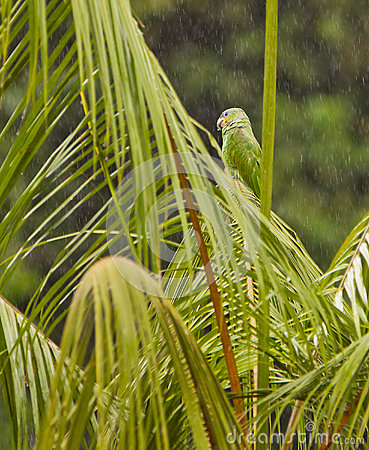 Orange-winged Parrot under rain