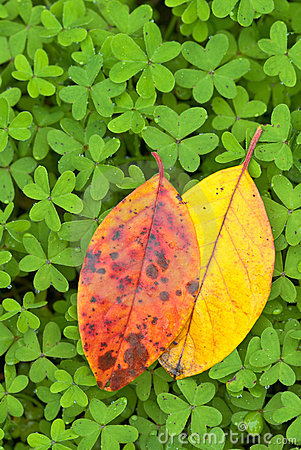 Orange and yellow deciduous leaves on clover