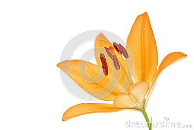 Orange yellow lily flower isolated on white