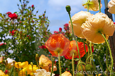 Orange and yellow poppies in garden