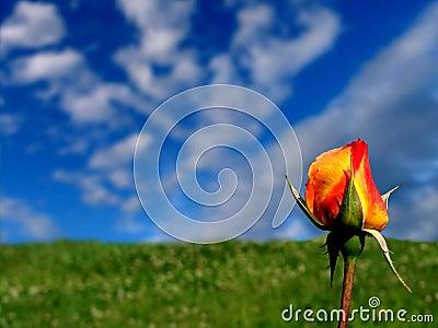 Orange - Yellow Rose