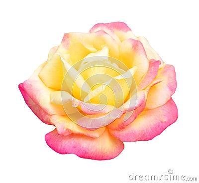 Free Orange Yellow Rose Stock Photo - 66954900