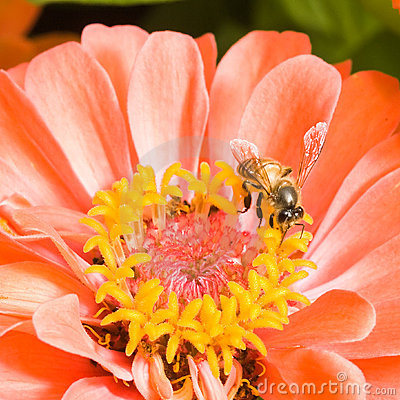 Orange Zinnia with Bee