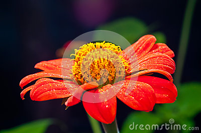 A Orange Zinnia Flower