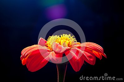 Orange Zinnia Flower Closed Up