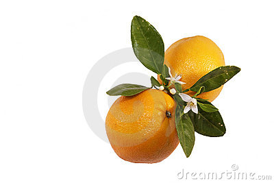 Orangen und Blüte