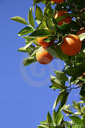 Free Oranges Stock Photo - 7260