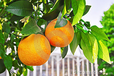 Oranges on the Branch