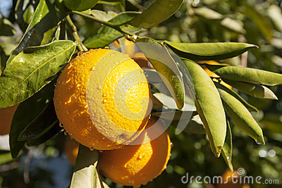 Oranges on Branch
