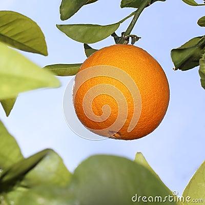 Oranges fruit in orange tree sky background