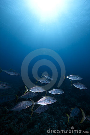 Orangespotted trevally and ocean