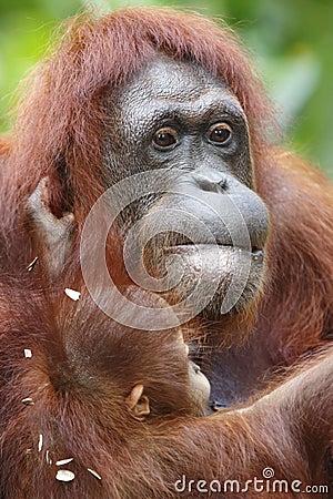 Orangotango Utan 9
