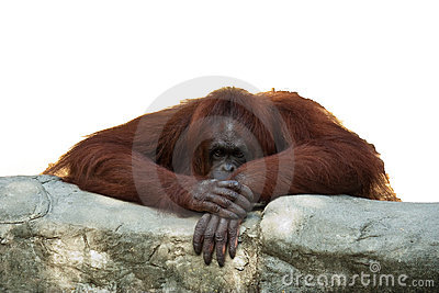 Orangutan leaning on wall