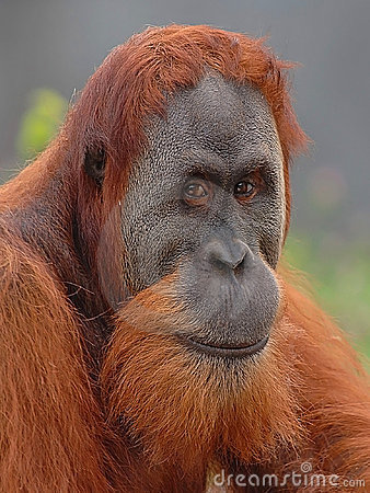 Free Orangutan Stock Photo - 920580