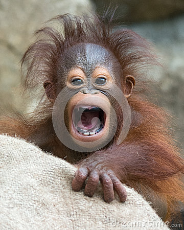 Orangutan - Baby with funny face