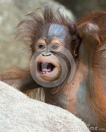 Orangutan - Baby with funny face