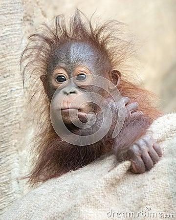 Orangutan baby - Hmmm ... Let me think.