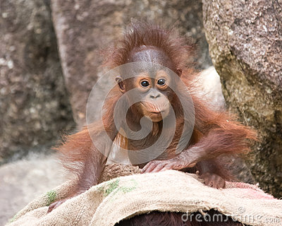 Orangutan - Baby with surprised look