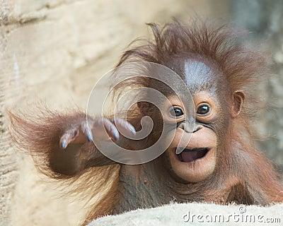 Orangutan baby - Yo, bro!