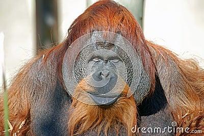 Orangutan Chimpanzee