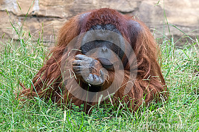 Orangutan - Deep in Thought