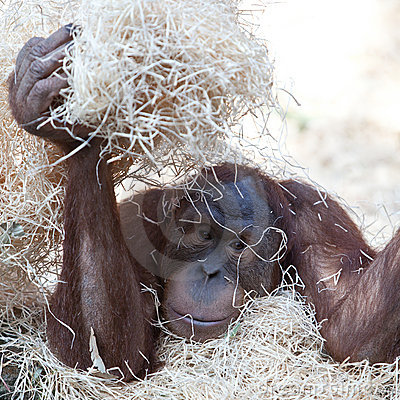 Orangutan hiding under hay
