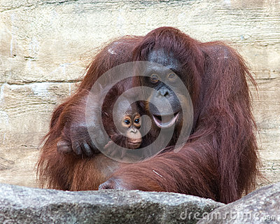 Orangutan - Mother and Baby